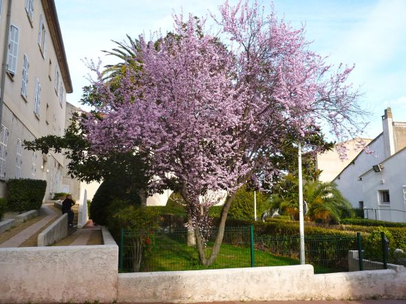 Körsbärsträden slår ut i blom