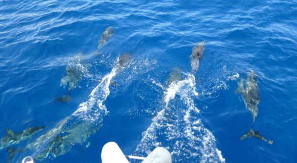 Dolphins in the Ionian Sea