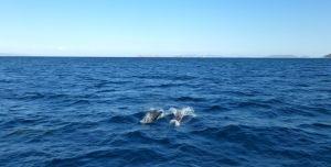 Snabbesök av delfiner