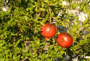 Granatäpplena mognar