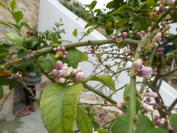 Ayfer blommor